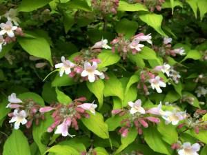 Dream Catcher flowers