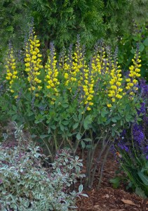 baptisia_lemon_merinque_cjw12_6_copy