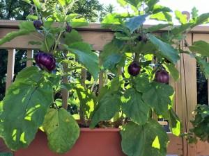 eggplant (2)
