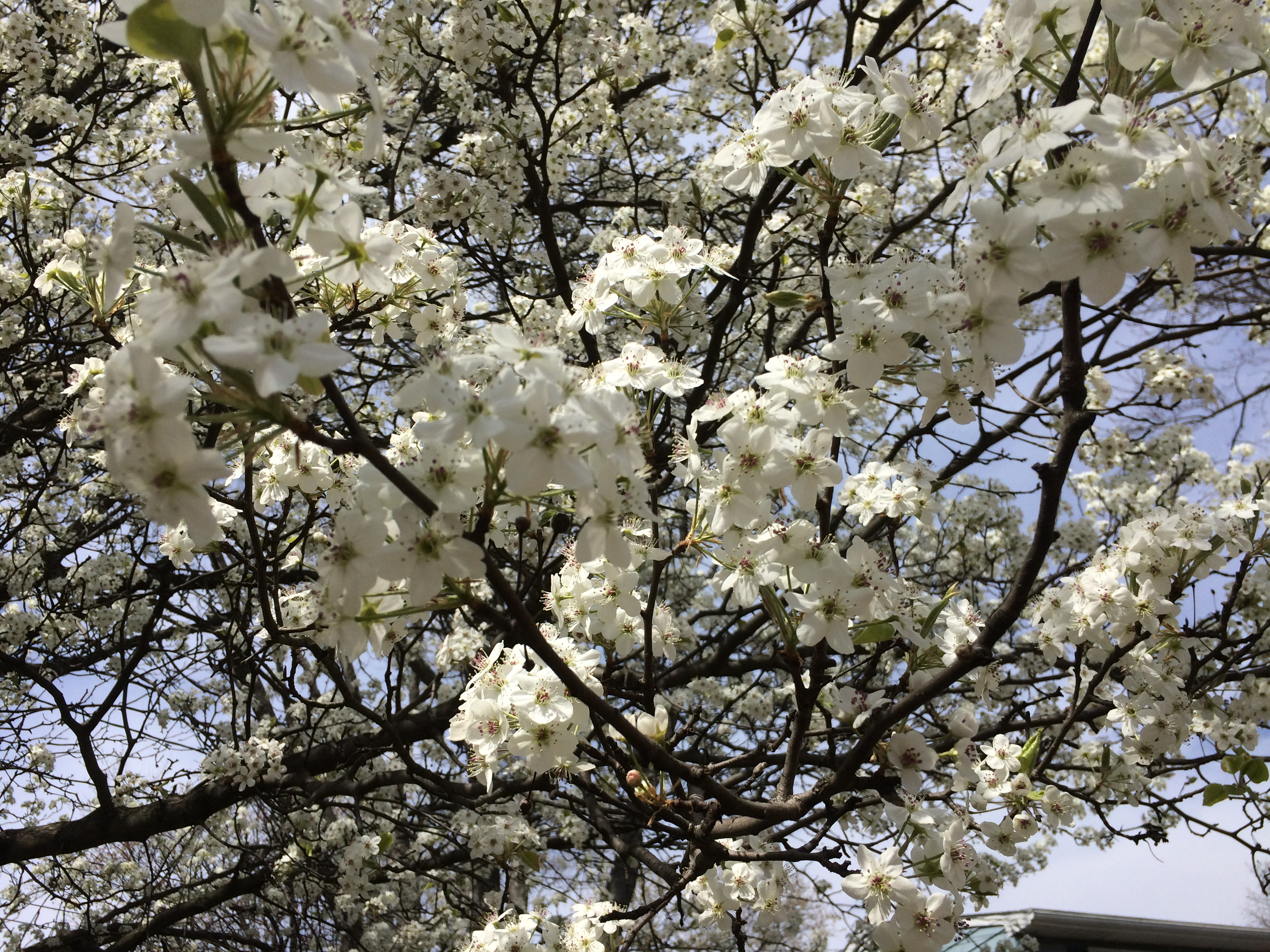 Beware the bradford pear tree pegplant spring is in the air and so is the white flowering bradford pear pyrus calleryana you have probably seen tons of them in the washington dc metro area mightylinksfo