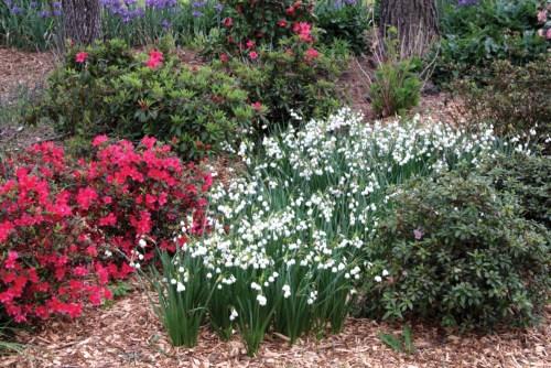 swath of white blooming Leucojum bulbs