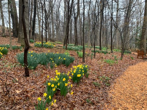daffodil blossoms in the woods