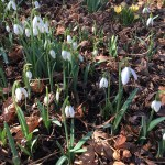 snowdrop blossoms in the woods
