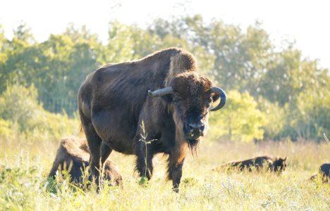 FortWhyte Alive Bison