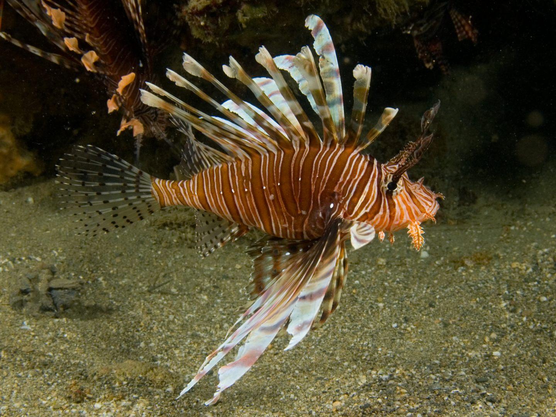 Peixe-escorpião