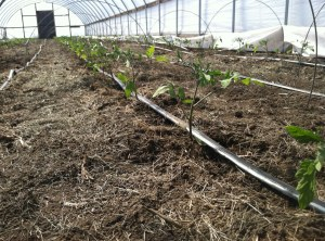 tomato plants in high tunnel