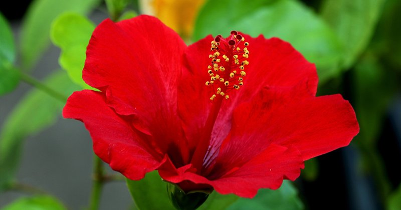 red-hibiscus-800px