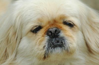 face of a pekingese dog
