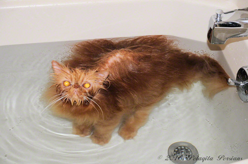 persian cat grooming and