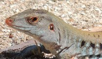 Ameiva exsul (Siguana común) — en Cayo Caribe - Guayama.