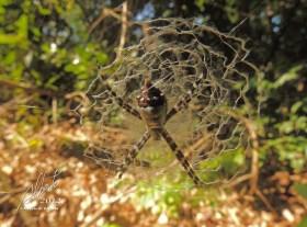 Araña en su tela (Argiope argentata)