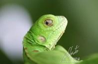 Mirada de Iguana