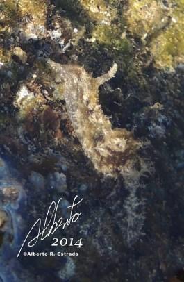 Aplysia datylomela (Spottted Sea Hare) Molusco Gasterópodo
