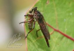 Mosca depredadora de abejas