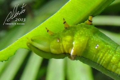 Oruga verde en El Yunque
