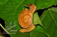 Molusco gasterópodo (Polydontes acutangula)