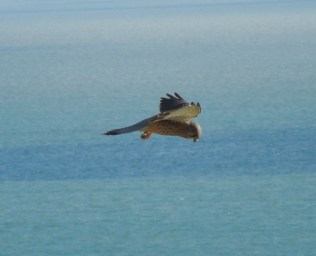 Kestrel in the wind