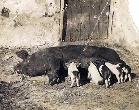 Ejemplo de lo que ocurría en Canarias con los cerdos: mestizaje de razas llegadas de fuera como se ve en esos lechones pintos.   JOSEFA CALERO En ARCHIVO C. GUTIÉRREZ
