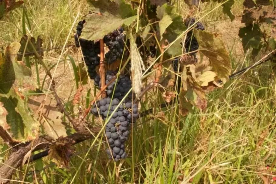 Uva na vinícola em Pirenópolis