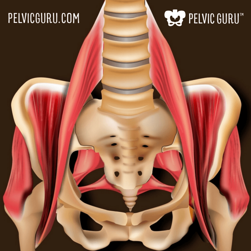 The Ultimate Pelvic Anatomy Resource Pelvic Guru