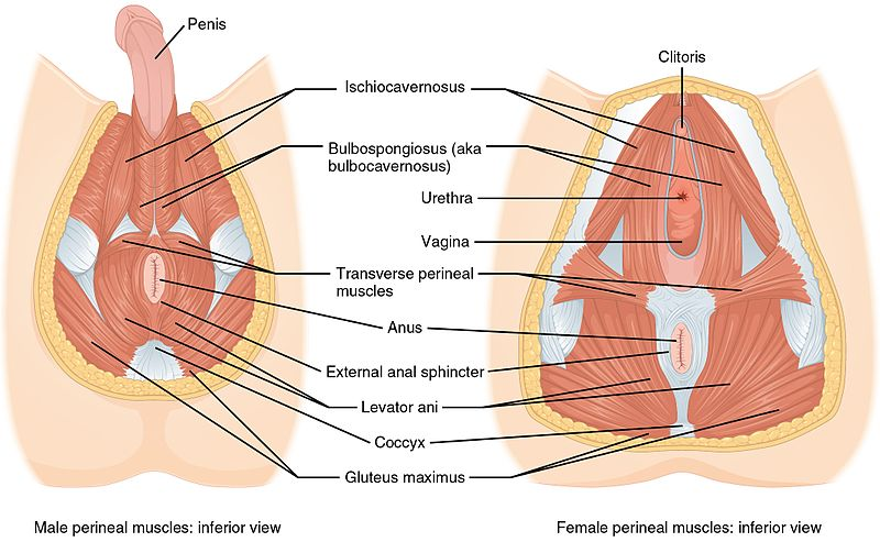 srp-blog-perineal-muscles