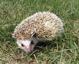Henry Hedgehog