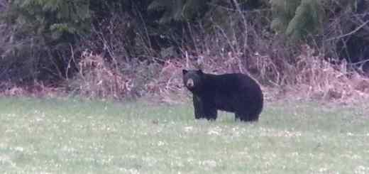 Big Black Bear