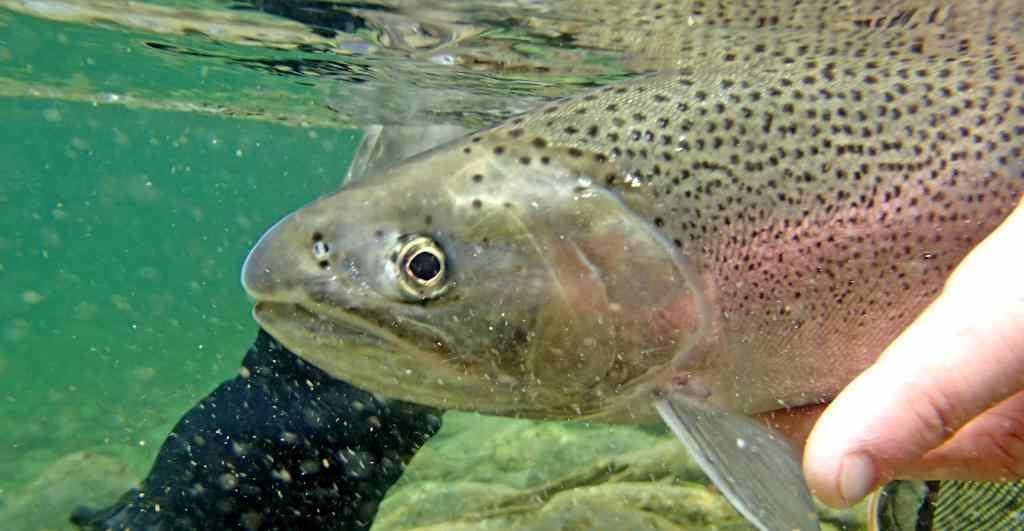 Rainbow Trout Underwater Release