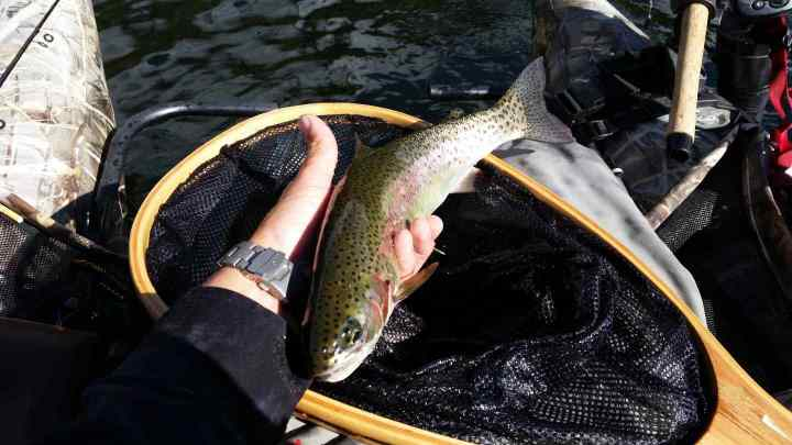 Blackwater lake Rainbow Trout