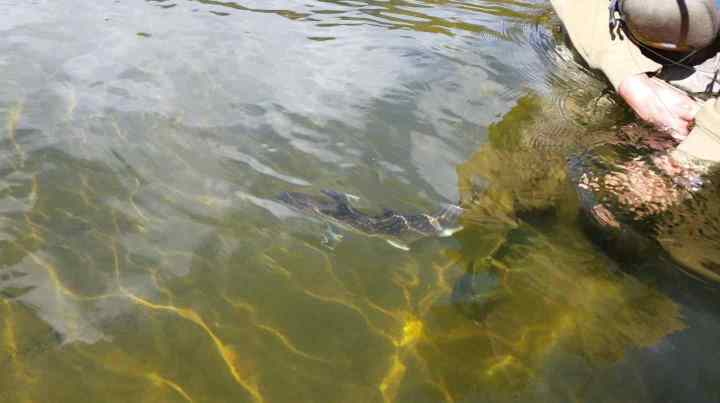 Fly Fishing for Bull Trout in Whistler and Pemberton BC