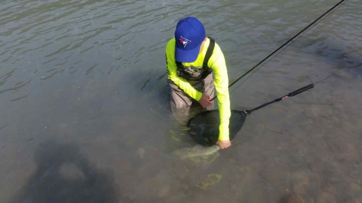 Catch and release Pink Salmon