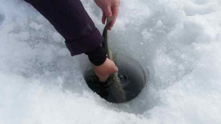 Releasing Rainbow Trout on Lost Lake