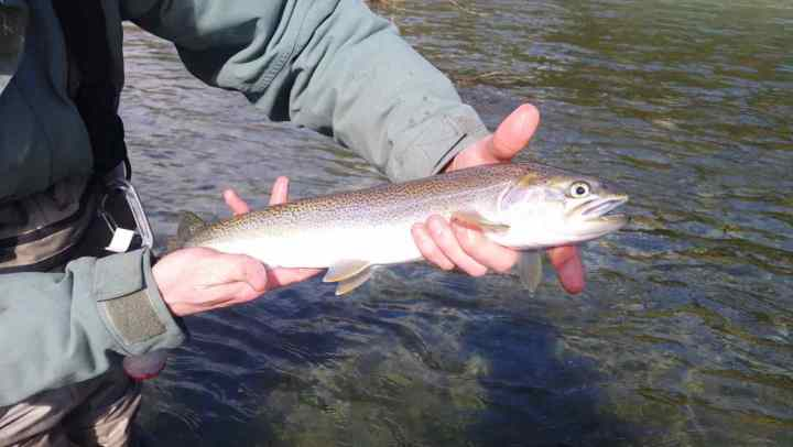 Cutthroat trout fly fishing in Whistler BC