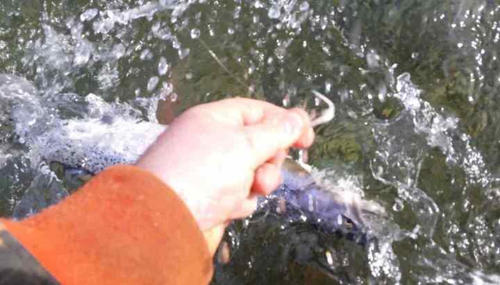 wet release of a coastal cutthroat trout
