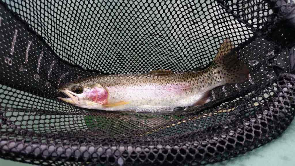Rainbow Trout Helicopter fishing
