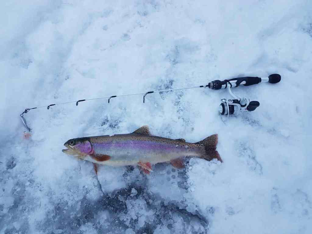 Rainbow Trout ice fishing in Canada