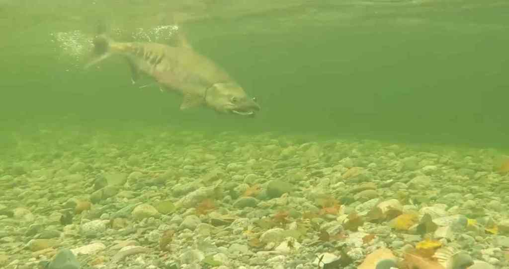 Underwater fly fishing video