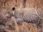 Leopard, Londolozi