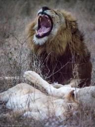 Looks like a roar - but he's yawning.