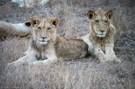 Two young scruffy male lions.