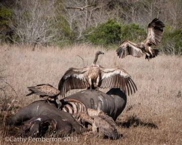 Rhino carcass, poaching, dead, vulture, Mala Mala