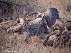 rhino carcass, poaching, dead vulture, Mala Mala