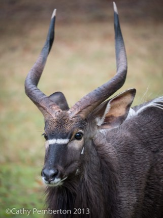 Male Nyala shelters from the rain outside our bedroom window.