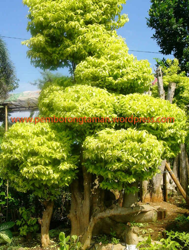 Daftar Harga Jenis Tanaman Perpohon  Jasa Desain Taman