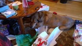 Sammy enjoying his present!