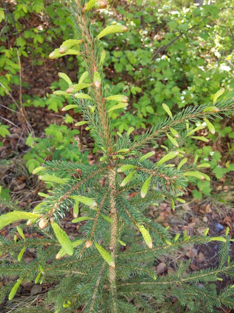 Bright green spruce tips growing out from branches on a sapling.