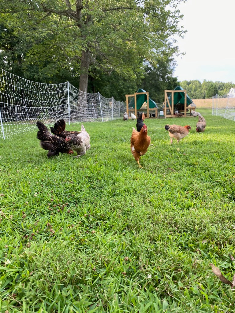 chickens in a chicken tractor