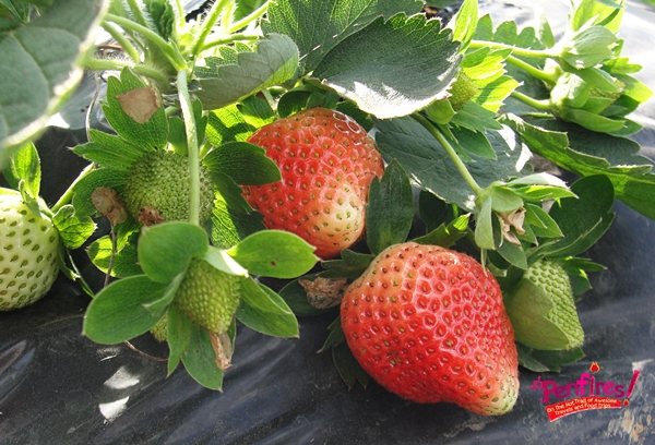 strawberry fields la trinidad