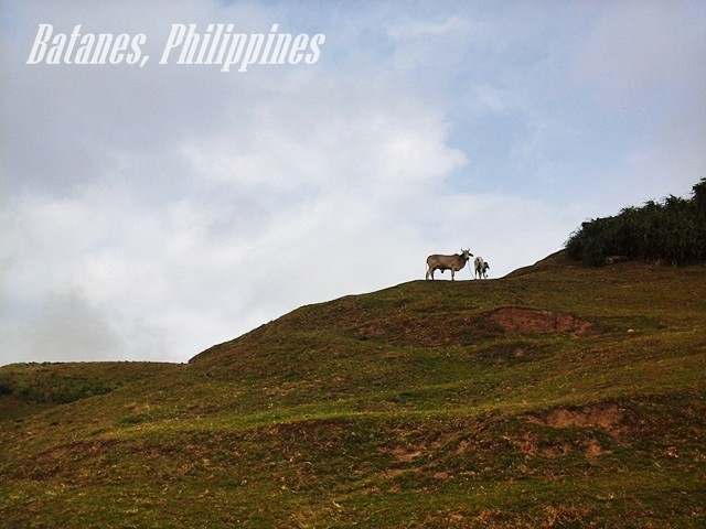 cows grazing batanes philippines