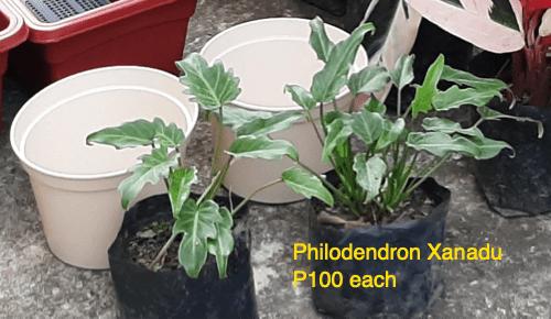 price philodendron xanadu